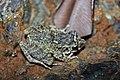 Oriente Stream Frog (Eleutherodactylus cuneatus) (8572427428).jpg