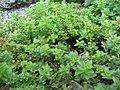 Origanum vulgare Humile 1zz.jpg
