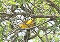 Oriolus auratus subsp notatus, Gorongosa, Birding Weto, a.jpg