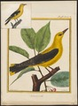 Oriolus galbula - 1700-1880 - Print - Iconographia Zoologica - Special Collections University of Amsterdam - UBA01 IZ16400169.tif
