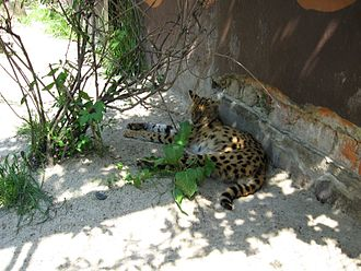 Serval - A serval resting in shade.