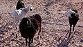 Ovejas - Saharauiak.jpg
