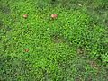 Oxalis corniculata habit1 (14707394915).jpg