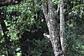 Pájaro Carpintero - panoramio.jpg