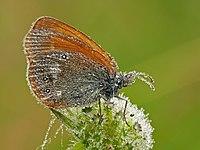 P1170085 Coenonympha glycerion.jpg
