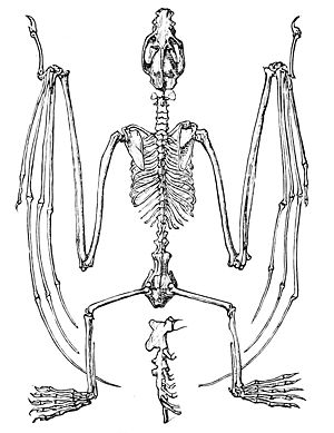 PSM V09 D563 Skeleton of flying fox.jpg