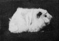 PSM V77 D432 A white rough guinea pig.png