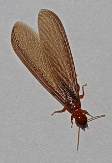 <i>Zootermopsis angusticollis</i> species of insect