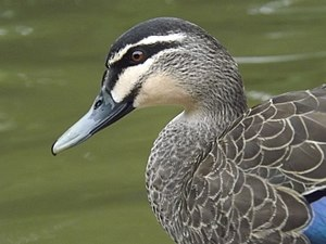 Pacific black duck - Image: Pacific black duck 02