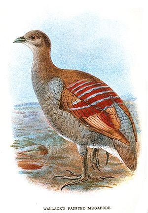 Moluccan megapode - Image: Painted Megapode