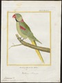 Palaeornis eupatria - 1700-1880 - Print - Iconographia Zoologica - Special Collections University of Amsterdam - UBA01 IZ18500037.tif