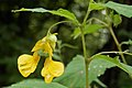 Pale Jewelweed (Impatiens pallida) - Kitchener, Ontario 02.jpg