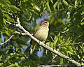 Palm Warbler Setophaga palmarum, Circle B Bar, Florida - Lip Kee.jpg