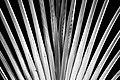 Palms, black and white (15450708371).jpg