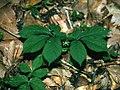 Panax quinquefolius 1116014.jpg