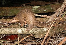 Sunda pangolin species of mammal