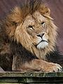 Panthera leo (male) Colchester Zoo.jpg