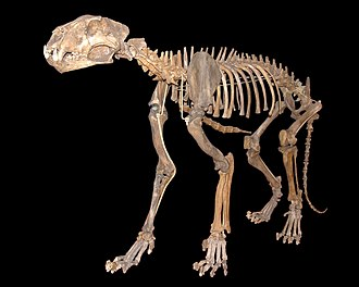 Panthera spelaea - Skeleton in Natural History Museum, Vienna
