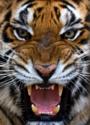 Panthera tigris -Castellar Zoo, Spain-8b.png