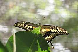 Papilio thoas on leaf.jpg