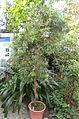 Papuacedrus papuana - Lyman Plant House, Smith College - DSC04368.JPG