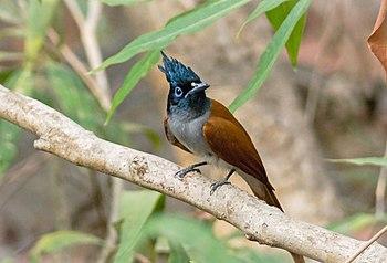 Paradiseflycatcher.jpg