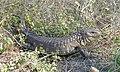Paraguay Caiman Lizard (Dracaena paraguayensis) (48434605292).jpg