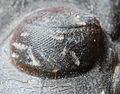Was sind Trilobiten 120px-Paralejurus-4