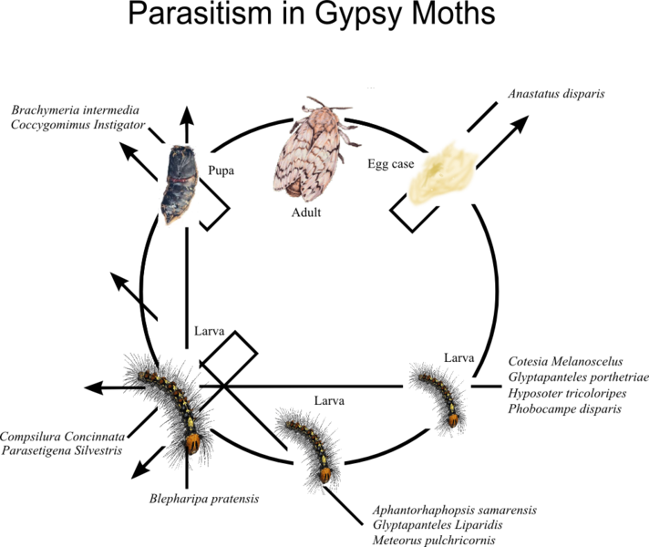 File:Parasitism in Gypsy moths.png