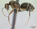 Paratrechina longicornis casent0132425 profile 1.jpg