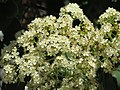 Parc Olbius Riquier - Tree with white flowers (close-up).jpg