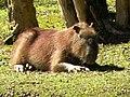 Parque Tingui em Curitiba - animais silvestres livres (capivaras).jpg