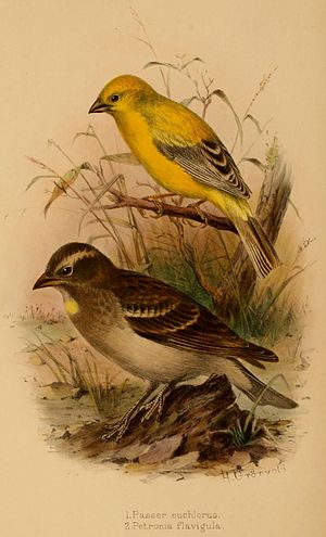 Henrik Grönvold - Grönvold's illustration of an Arabian golden sparrow and a yellow-throated petronia from G. E. Shelley's Birds of Africa