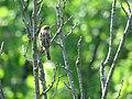 Passer montanus - poljski vrabac.jpg