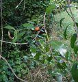 Passiflora tetrandra 11.JPG