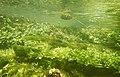 """Paysage subaquatique Subaquatic landscape rivière """"Les Baillons"""" à Enquin-sur-Baillons F Lamiot 12.jpg"""