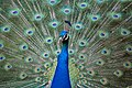 Peacock - Flickr - Stiller Beobachter.jpg