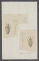 Pediculus - Print - Iconographia Zoologica - Special Collections University of Amsterdam - UBAINV0274 042 10 0003.tif
