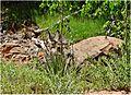 Peeking Deer, Angel's Landing Trail 5-1-14 (14420606543).jpg