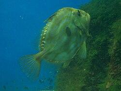 Peixe de San Pedro 1.JPG