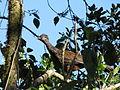 Penelope montagnii (Pava andina) (14067354690).jpg