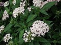 Pentas Cornia from Lalbagh flower show Aug 2013 8264.JPG