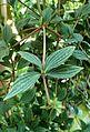 Peperomia tetragona kz4.jpg