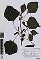 Perilla frutescens (L.) Britton (AM AK360555-1).jpg