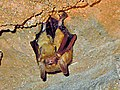 Perimyotis subflavus.jpg