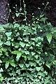 Persicaria perfoliata 3.JPG