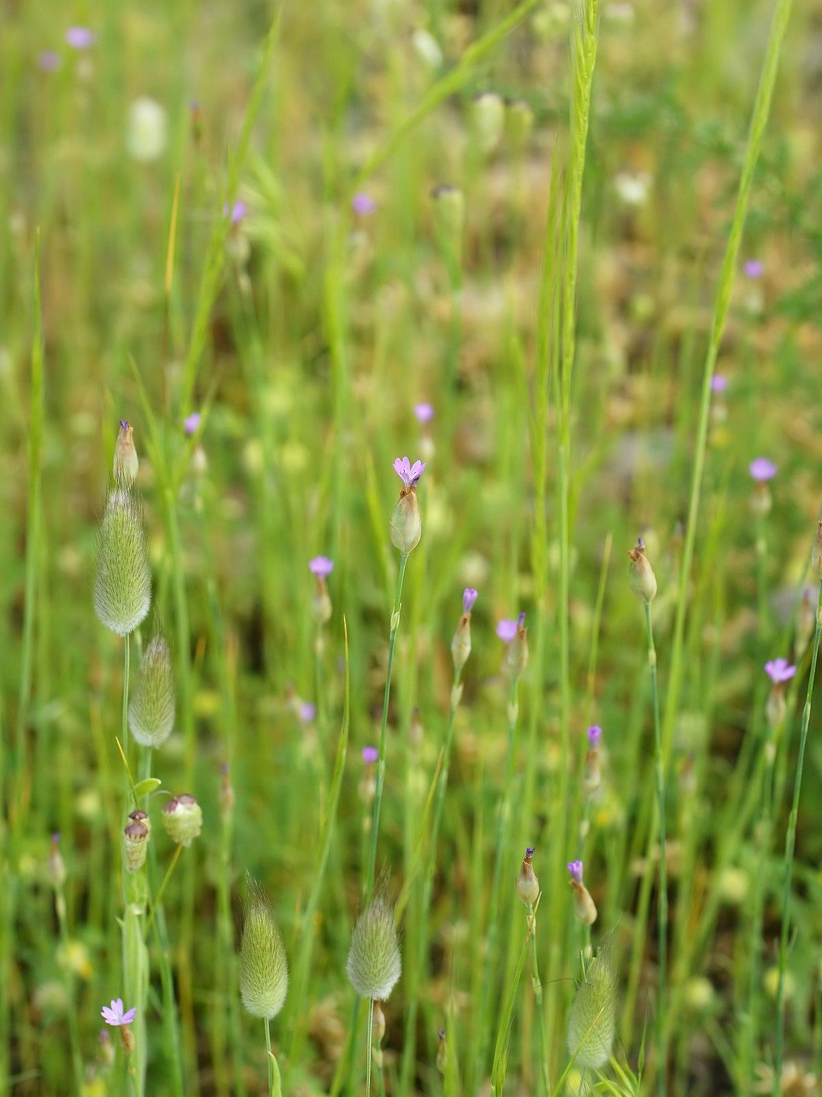 Petrorhagia dubia wikispecies for Anales del jardin botanico de madrid