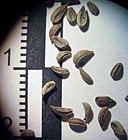 Petroselinum crispum seeds.jpg