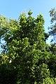 Peumus boldus kz01.jpg