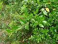 Pflanze 372 bei Livorno.jpg